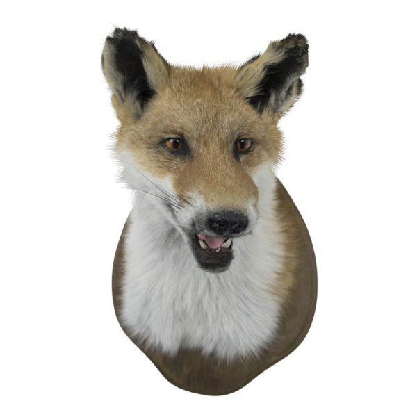 Trophy Fox (vulpes Vulpes) leather/wood - LifeDeals